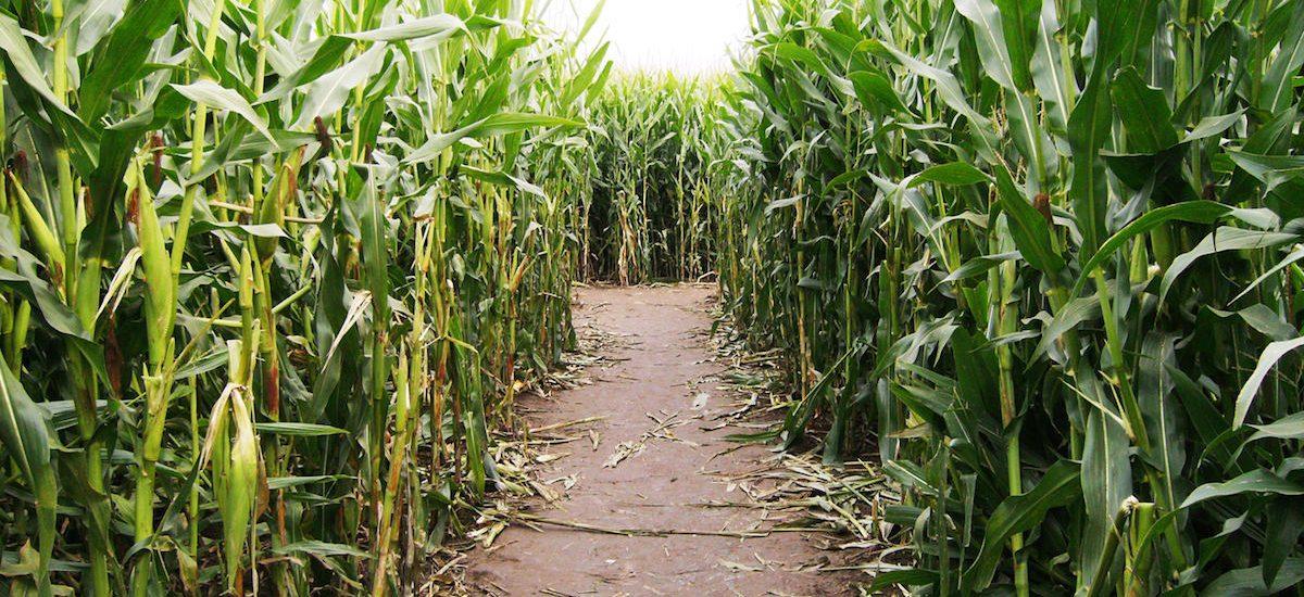 Cowvin's Corny Maze