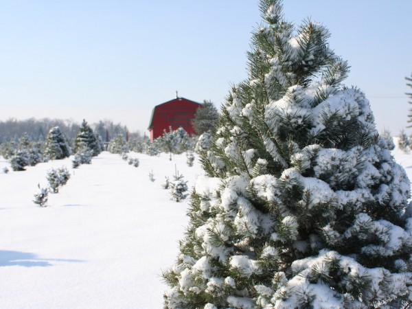 cut-your-own-christmas-trees