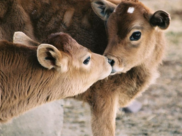jersey-cows-kissing